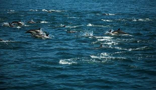 Более 100 тысяч дельфинов у берегов Сан-Диего (видео)