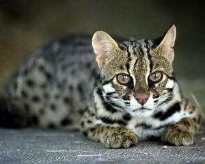 Ашера - самая дорогая и самая большая домашняя кошка