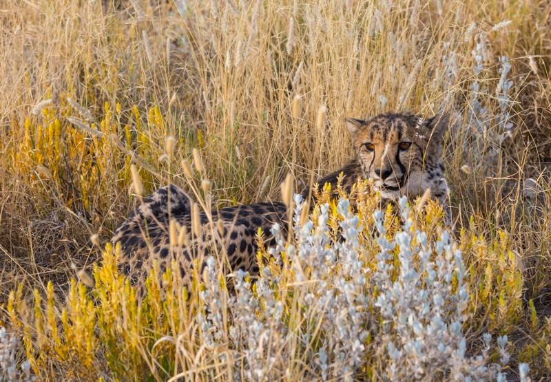 Покормить гепарда